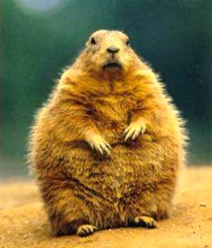 The American Groundhog - part of an American weather forecasting tradition for decades.